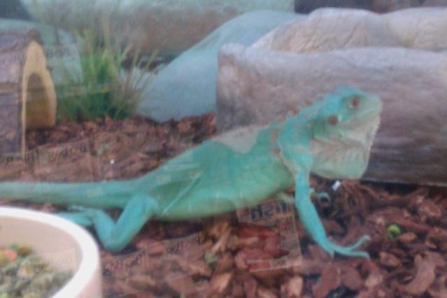 For Sale Axanthic Blue Iguana