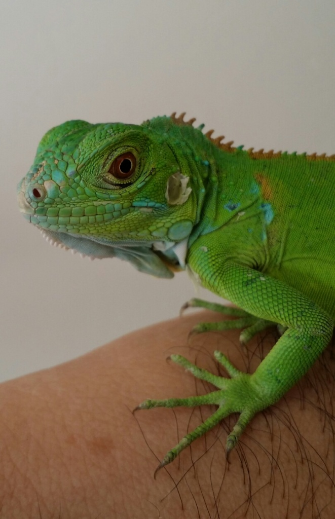 For Sale Wholesale Baby Florida Green Iguanas Pet Store Specials