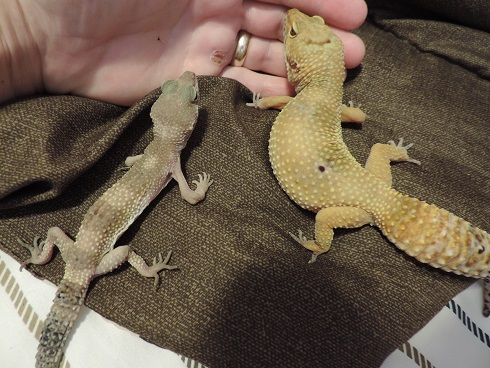 Petco crested gecko with possible problem  - FaunaClassifieds