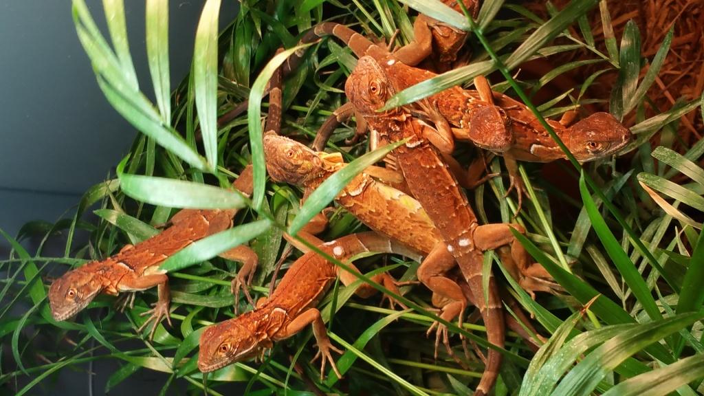 Kết quả hình ảnh cho red iguana baby