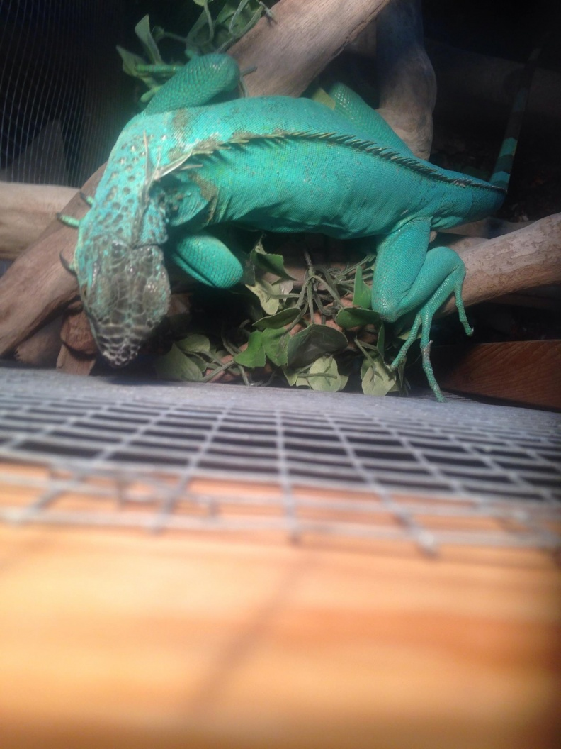 Trade Sub Adult Albino Iguana And Axanthic Pair For