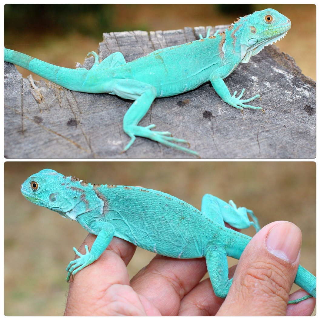 For Sale Exceptional Axanthic Blue Iguanas