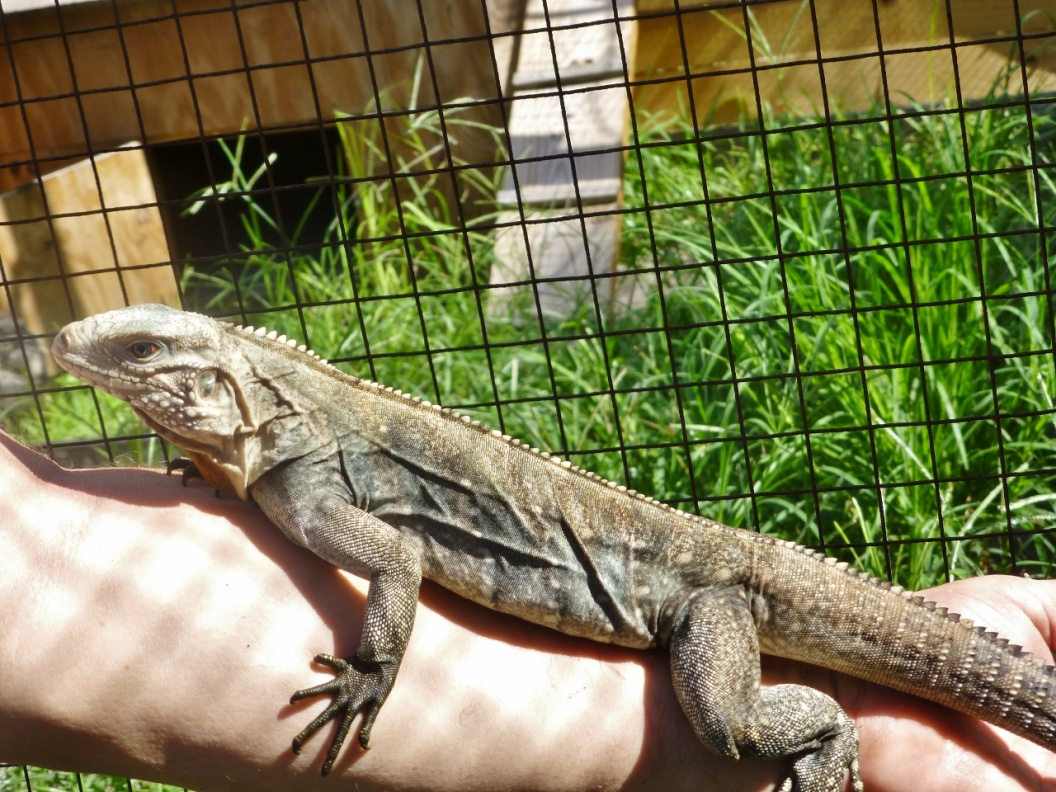 For Sale Cayman Brac Iguana
