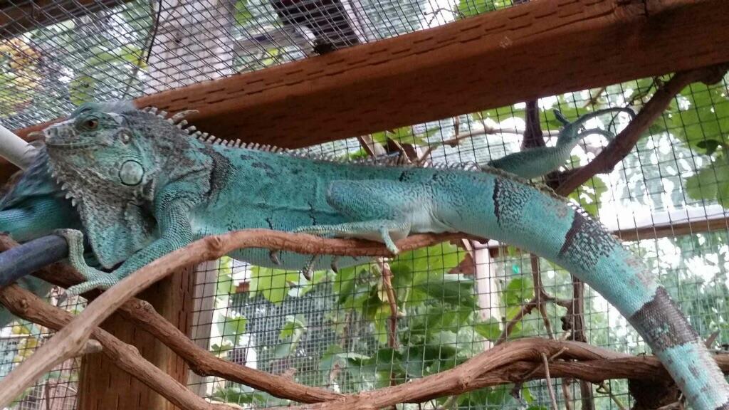 For Sale Blue Iguana Babies