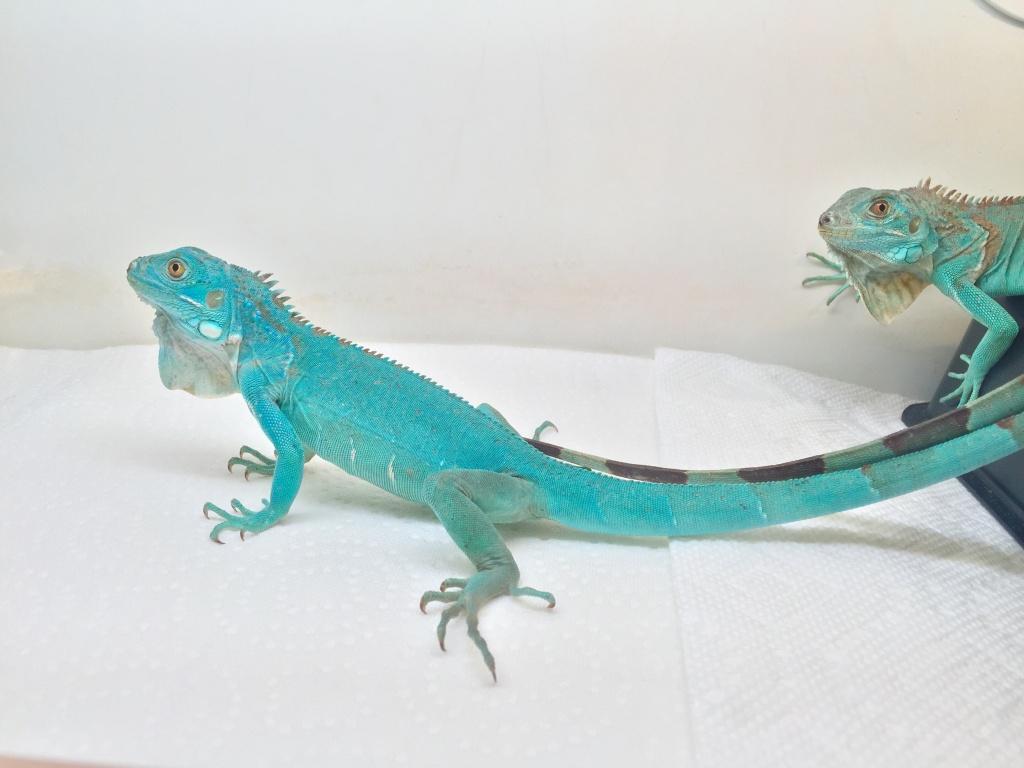 SOLD 2 Axanthic Blue Iguanas