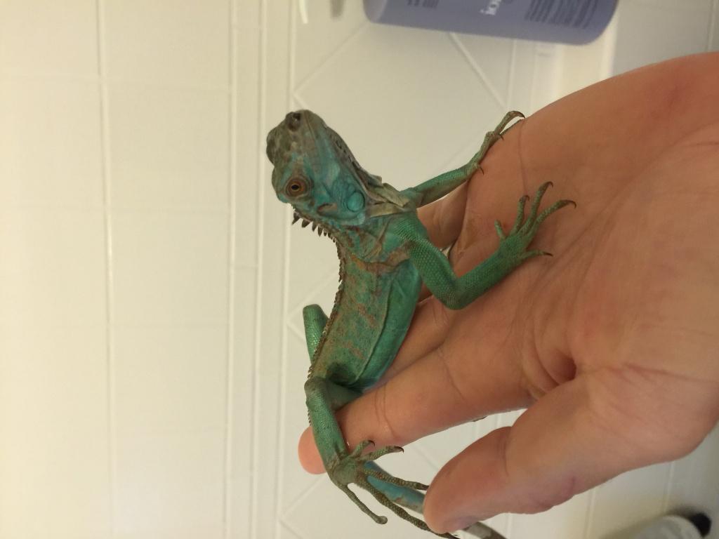 For Sale Juvenile Blue Axanthic Iguanas CBB