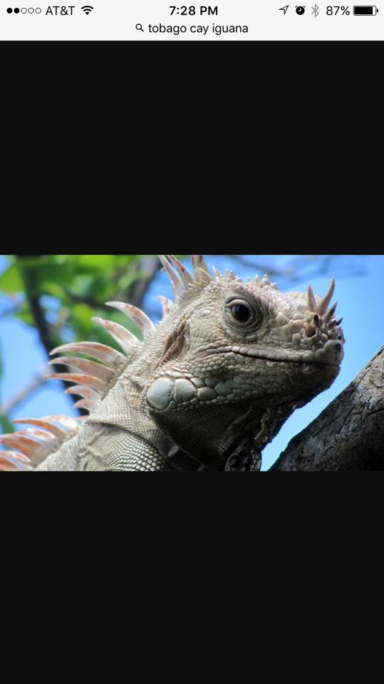 For Sale Tobago Cay White Rhino Iguana