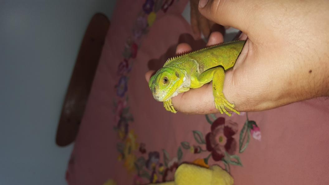 100 Het Albino Green Iguanas 11