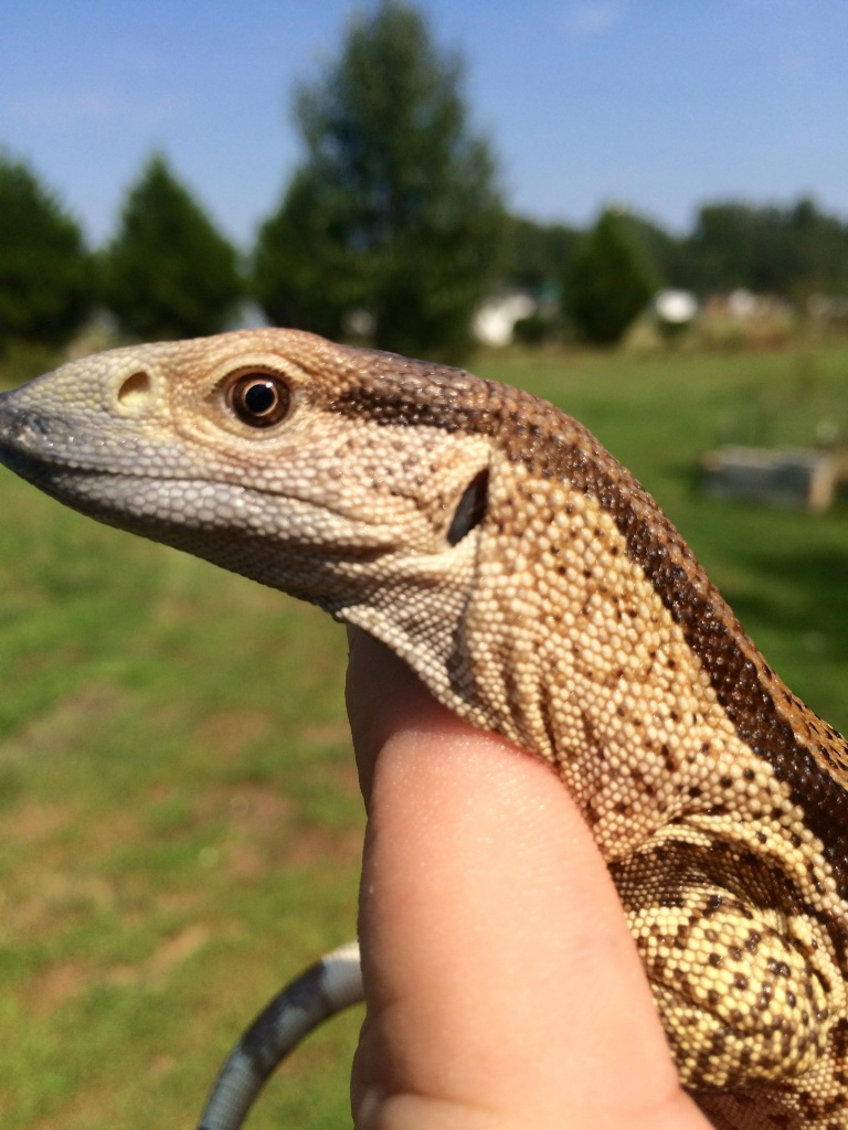 Sold Cape Banded White Throat Monitor Faunaclassifieds