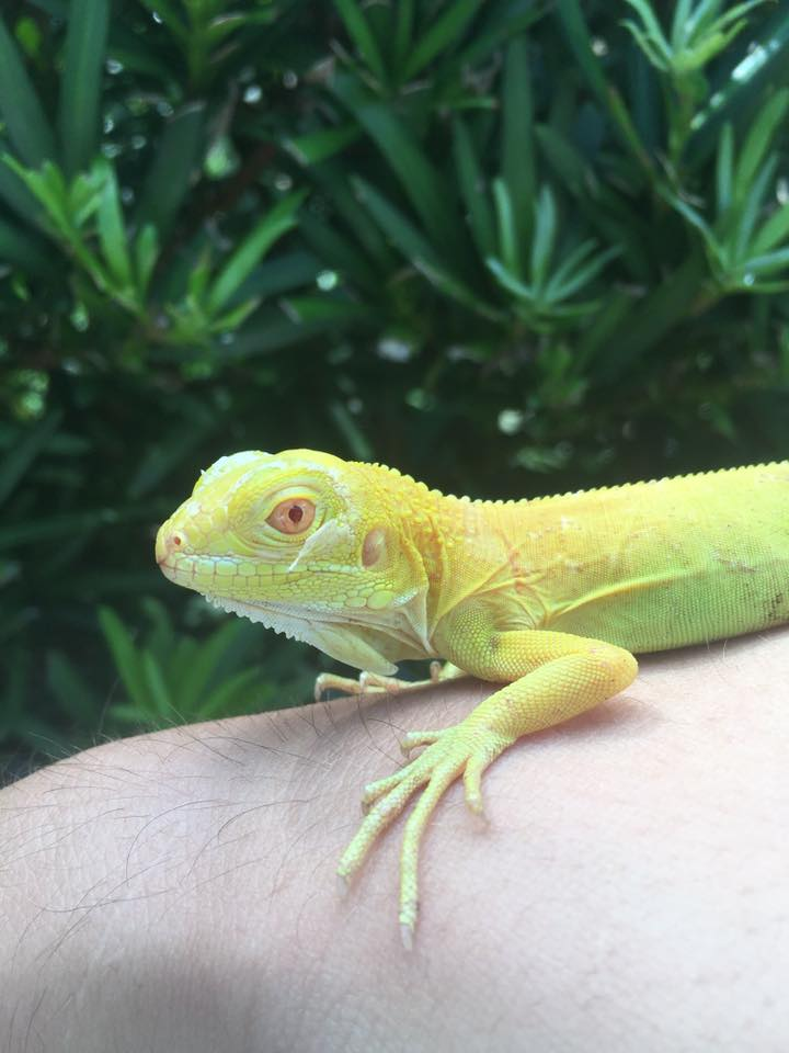 SOLD ONE OF A KIND GREEN IGUANA MORPH PACKAGE DEAL ALBINO HETS