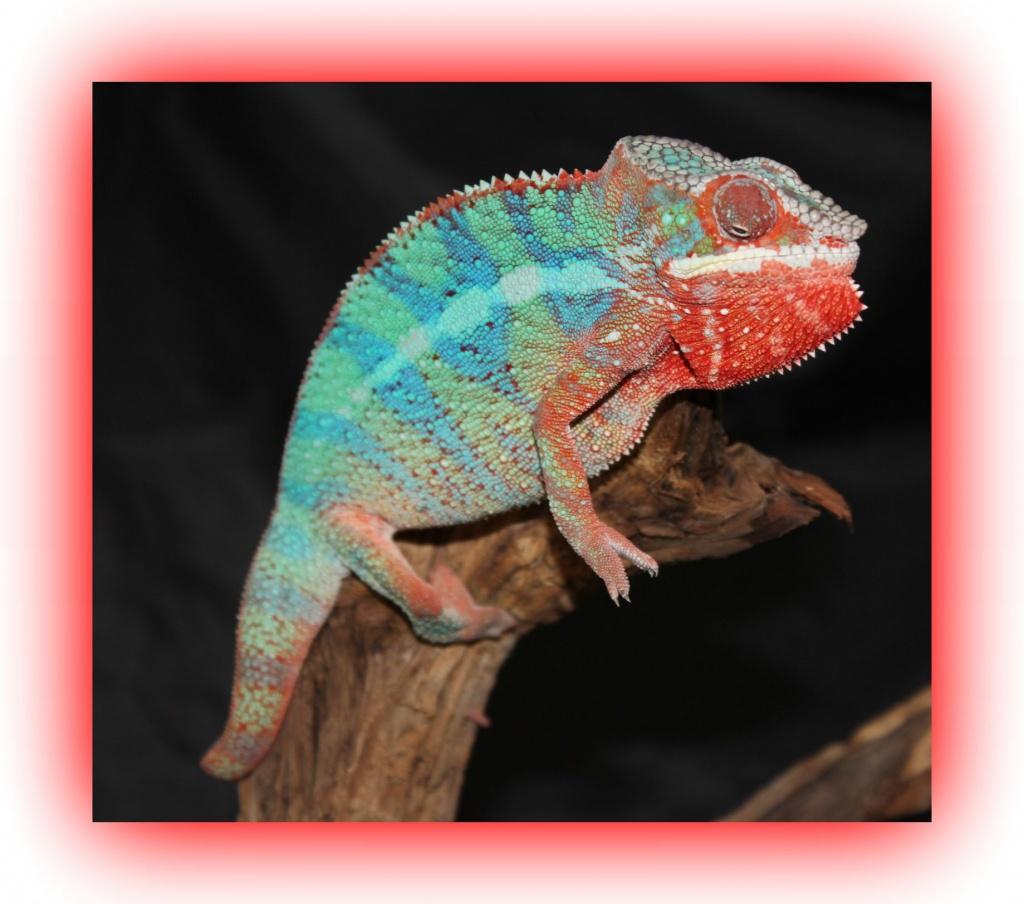 Name:  Panther chameleon Megatron2.jpg Views: 182 Size:  206.8 KB