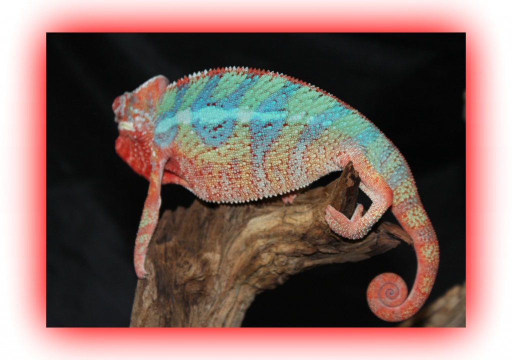 Name:  Panther chameleon Megatron1.jpg Views: 178 Size:  177.0 KB