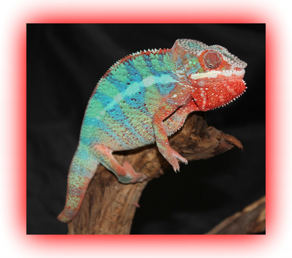 Name:  Panther chameleon Megatron2.jpg Views: 183 Size:  206.8 KB