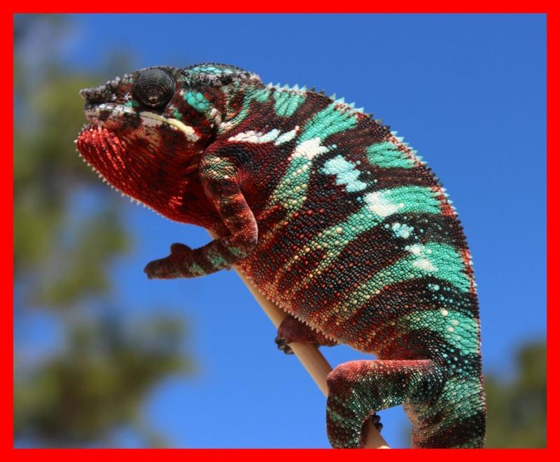 Name:  Panther chameleon Incin2.jpg Views: 202 Size:  175.1 KB