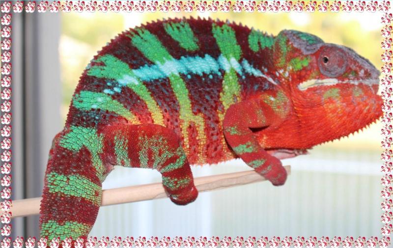 Name:  PantherchameleonIncinerator.jpg.jpg Views: 203 Size:  195.1 KB