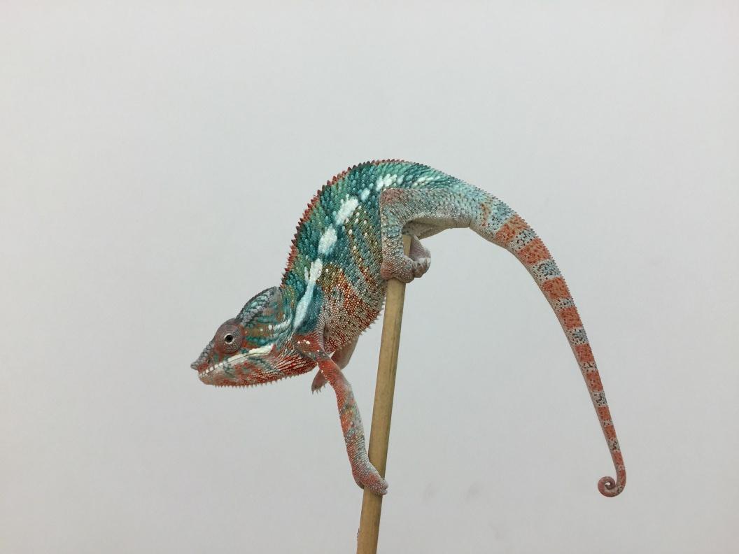 Name:  Chameleon.jpg Views: 159 Size:  154.9 KB