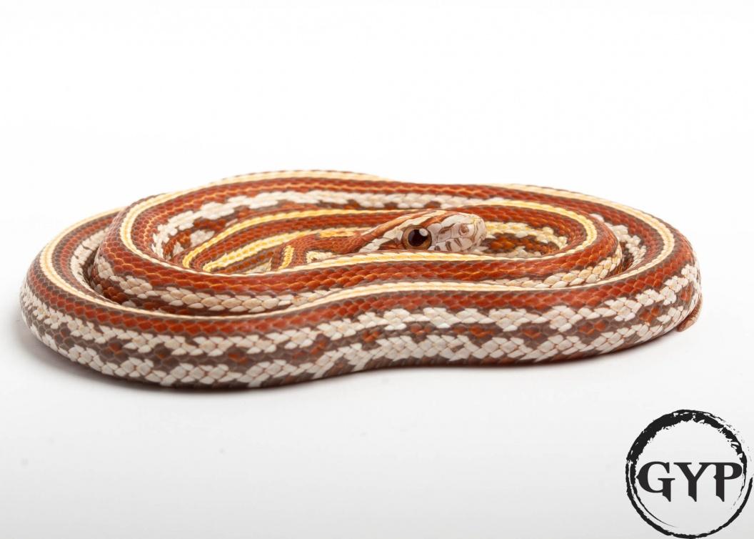 2019 Tessera Ultra Amel Corn Snake - FaunaClassifieds