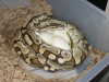 Delilah_Eggs_1_1200x900.png