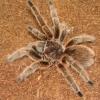 chilean-rose-hair-tarantula.jpg
