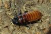 madasgascar-hissing-cockroa.jpg