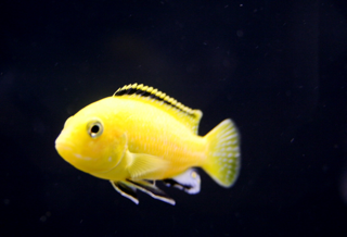 yellow_lab_male