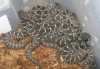 Eastern_Diamondback_babies_born_9-6-08_001.jpg