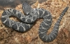 Eastern_Diamondback_babies_born_9-6-08_002.jpg