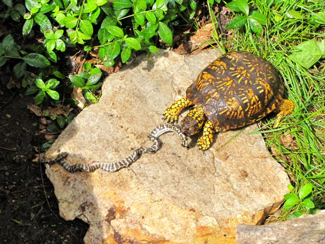 Can Painted Turtles Eat Carrots