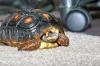 Red_Foot_Tortoise.jpg