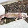 albino-leopard-gecko-thumb.jpg