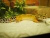leopardgeckoforsale.jpg