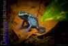 Azureus_Dart_Frog_1_of_1_-2.jpg