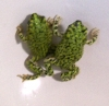 Green_Toads_3_of_3.jpg