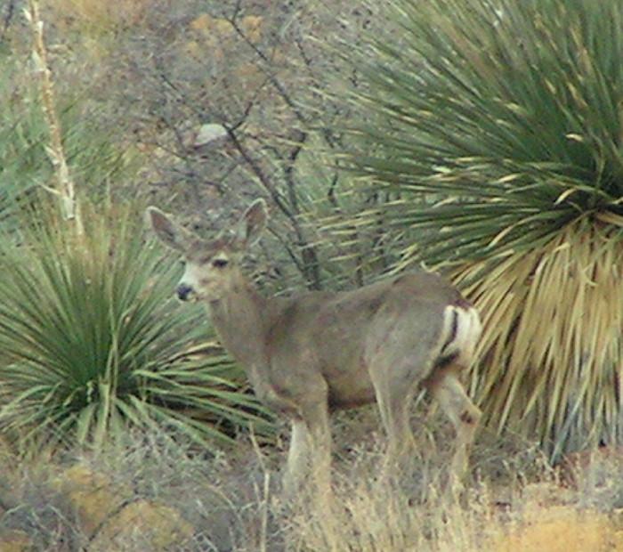 Mule_deer_Buck2