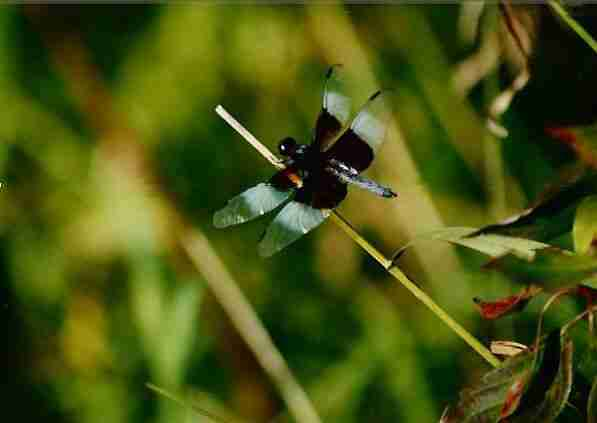 Black_and_blue_dragonfly
