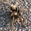 Tarantula_10.jpg
