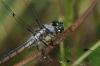 dragonfly001.jpg