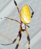 golden_orb_spider01.jpg