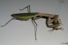 mantis_munch_10.JPG