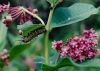 monarch_caterpillar.jpg