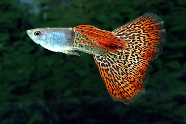 male_facncy_tail_guppy