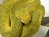 Yellow_Squamiger.jpg