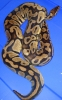 2008_10_year_old_proven_female_Pastel_Ball_Python.jpg