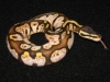 Ball_pythons_164.jpg