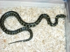 60444Rare_striped_Eastern_Kingsnake.jpg