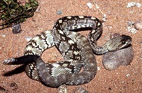 black_tail_rattlesnake