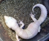 gecko_albino_edited.jpg