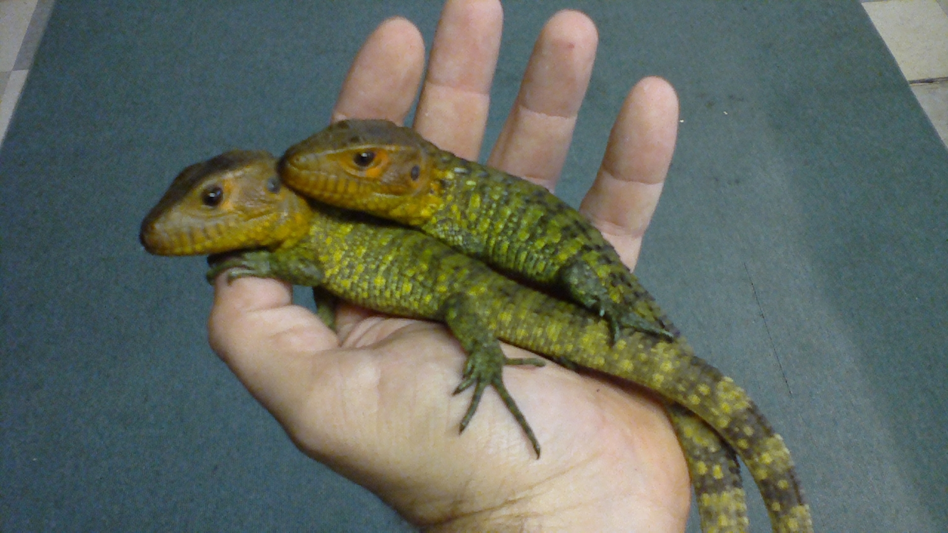 Baby Caiman Lizards