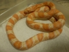 09_pair_Creamsicle_Corns_001.jpg